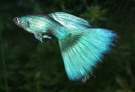 Large Fantail Guppy - grn.