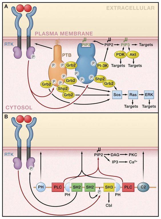 Signaling Cascade of Receptor Tyrosine Kinase
