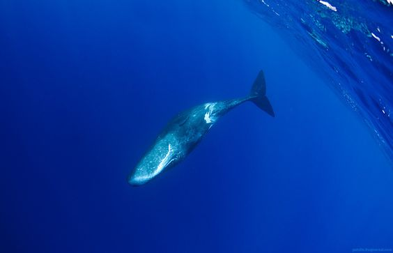 nitrogen trip by Alexander Safonov, via Behance: Feeling Blue, Dolphins Whales, Sperm Whale, Nitrogen Trip, Underwater Life, Cachalote Blue, Alexander Safonov, Ocean Life