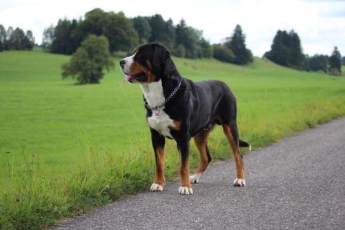 Grosser Schweizer Sennenhund Deckrude Kein Verkauf In Rosshaupten Sennenhund Hunderassen Grosser Schweizer Sennenhund