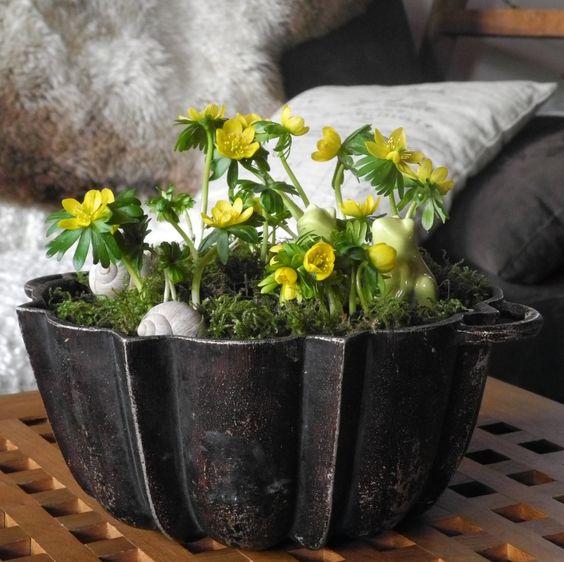 Winterlinge in eine Kuchenform gepflanzt <3