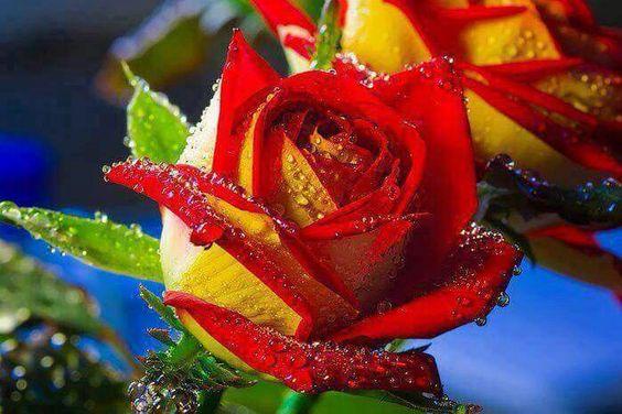 Rosa Bandera