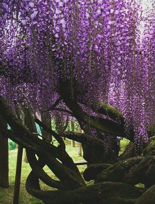 The Latest Trend In Wisteria Flower Buds Falling Off Wisteria Flower Buds Falling Off In 2020 Small Gardens Fragrant Flowers Wisteria Plant