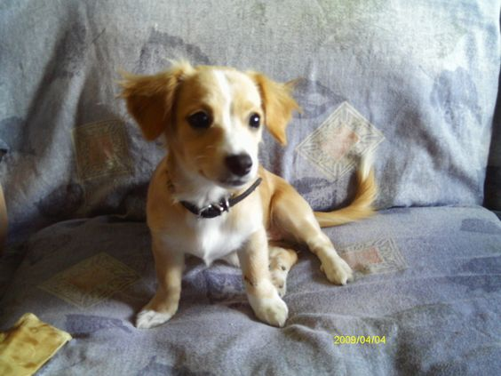 Daisy: Jack Russell Terrier/Chihuahua Mix:
