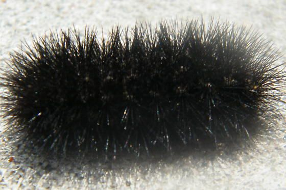 Black Hairy Caterpillar What Kind Is It And Is It Poisonous In 2020 Black Caterpillar Caterpillar Poisonous Caterpillars