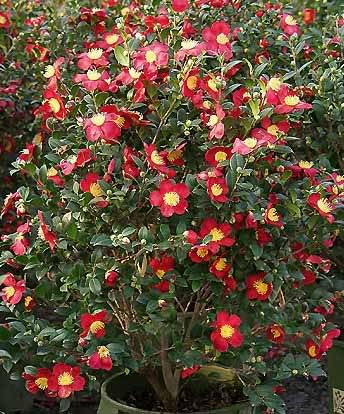 Camellia Sasanqua Yuletide Red Option Front Yard