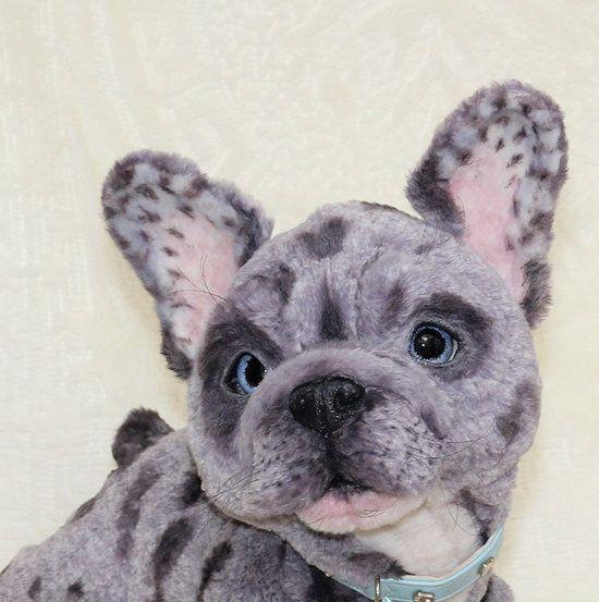 Such A Pretty Face New Pics Of Tippie Bulldog Puppies French Bulldog Puppies Blue French Bulldog Puppies