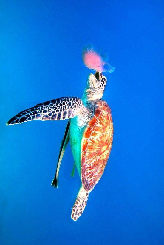 Green Sea Turtle eating Jellyfish ✿⊱╮
