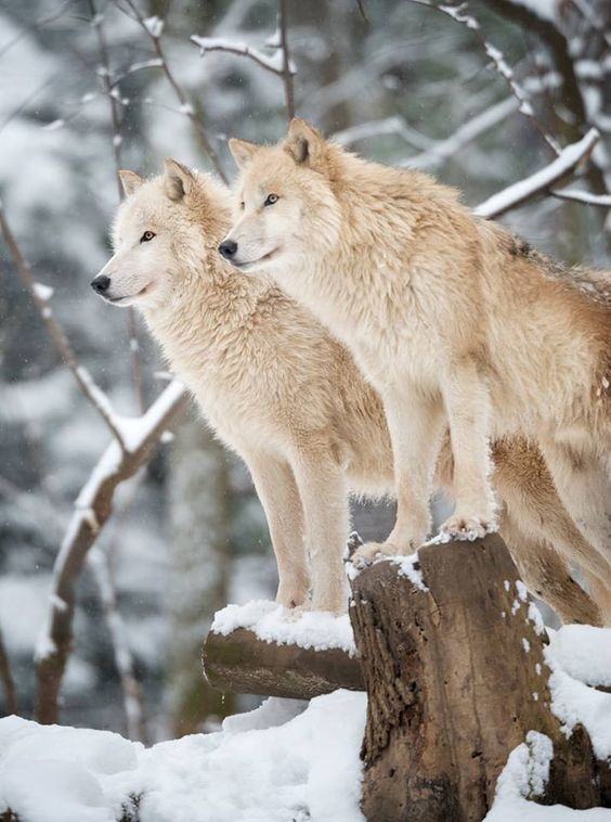 Arctic Wolves Pack in Wildlife, Winter Forest — on Hello Lovely Studio #arcticwolf #winterwonderland