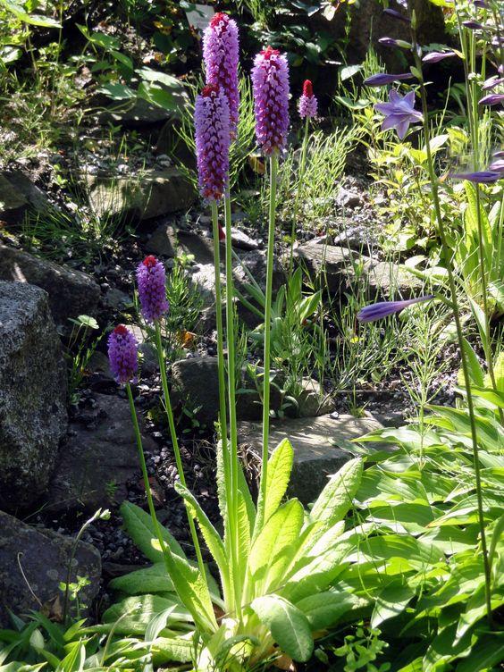 Um von der Orchideen-Primel (Primula vialii) solche Prachtexemplare zu erhalten, muss man sich fachmännisch kümmern.