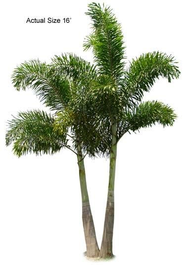 Foxtail palm online nursery and palm trees on pinterest for Cheap trees