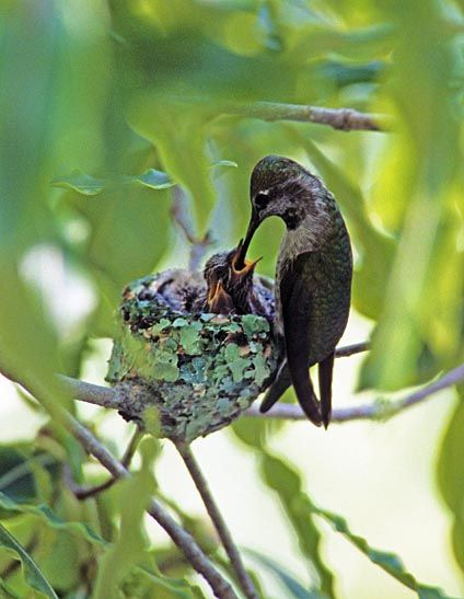 Resultado de imagem para imagens de colibris
