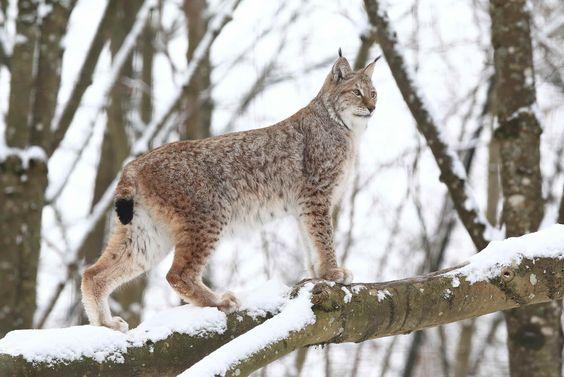 Le Lynx Pardelle ou Lynx ibérique ou Lynx d'Espagne occupe principalement la forêt méditerranéenne et le maquis, un habitat de broussailles, de forêts ouvertes et de fourrés, ainsi que les maquis denses et les pâturages ouverts. Il est largement limité aux zones montagneuses, avec seulement un petit nombre de groupes présents dans les forêts de plaine ou les maquis denses. Sa face est ornée d'un collier de poils longs autour du cou et d'oreilles triangulaires surmontées d'une touffe de poils…