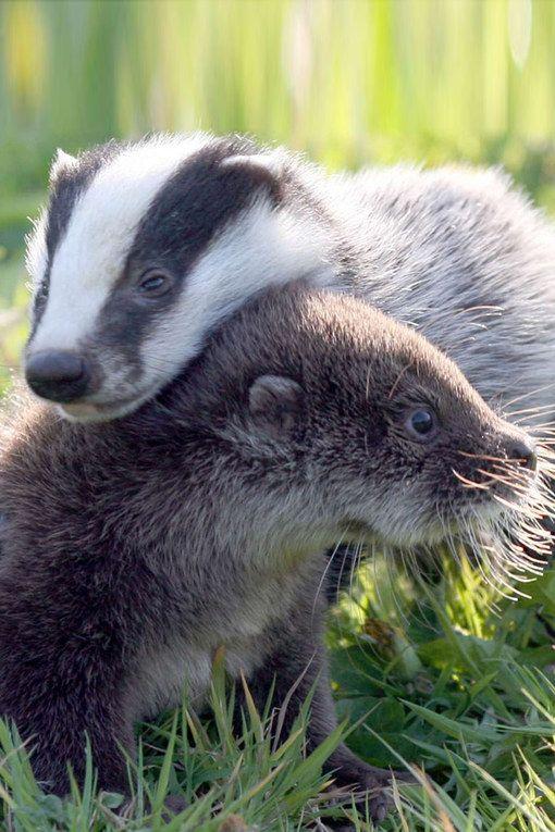 Photos d'animaux : un bébé blaireau et un bébé loutre
