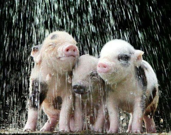 Piggy piggy!