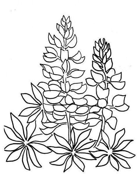 Bluebonnet Coloring Page Flower Coloring Pages Lupine Flowers Blue Bonnets