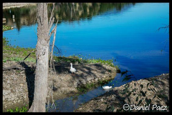 #Cádiz# Ocas en Río Guadalete - Embalse de Zahara - El Gastor