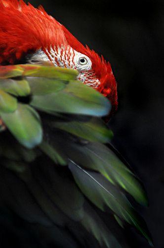 Arara vermelha ( America do Sul e Central)