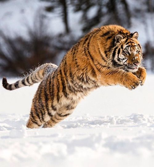 Amur Tiger by © suhaderbent