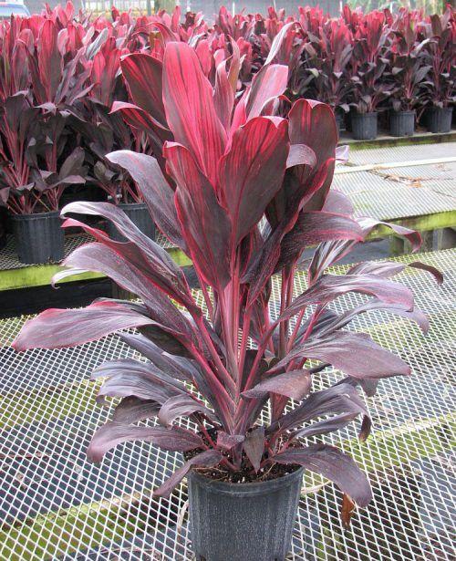 3 Gallon Plants Ti Plant Trees To Plant