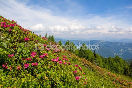 #Alpine #Rose On Mt. #Gerlitzen @depositphotos #depositphotos #@carinzia #ktr15 #flowers #almrausch #nature #landscape #carinthia #austria #summer #season #spring #outdoor #hiking #holidays #vacation #travel #leisure #sightseeing #stock #photo #portfolio #download #hires #royaltyfree