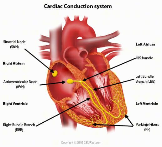 Ceufast Com Cardiac Conduction System Cardiac Anatomy Cardiac