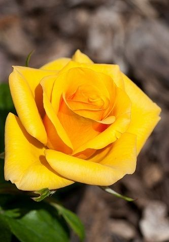 Rosa ghialia.