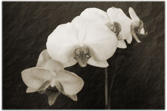 Orchids by Merryn