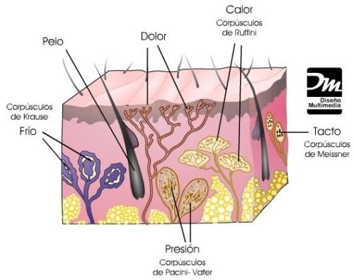 Oido Y Tacto Integumentary System Body System