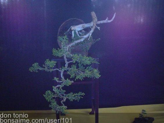 Bonsai junipero en cascada - don tonio