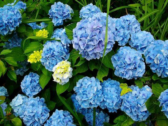 La hortensia: hydrangea macrophylla.  #hortensias #flores #plantas #jardín #exterior