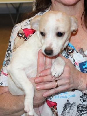 Pictures Of Jonnie A Chihuahua For Adoption In Palm Springs Ca