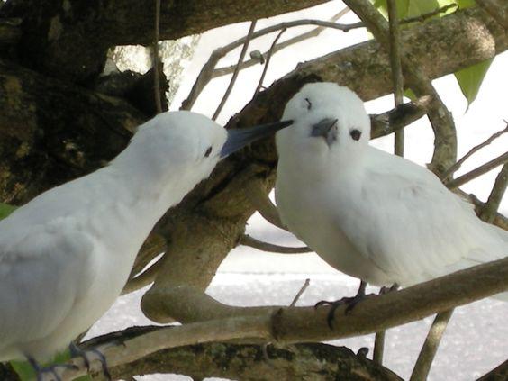 White Tern (or Fairy Tern)