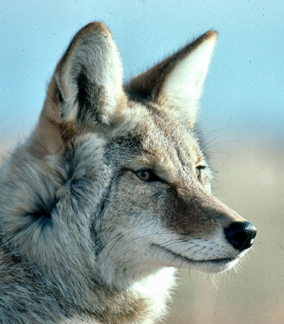 The coyote (Canis latrans), also known as the American jackal or the prairie wolf, is a species of canine found throughout North and Central America, ranging from Panama in the south, north through Mexico, the United States and Canada.