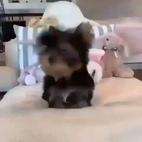 Looking For A Teacup Yorkie You Ve Come To The Right Place Here At Alley Yorkie S Video In 2021 Teacup Puppies Teacup Yorkie Teacup Yorkie For Sale