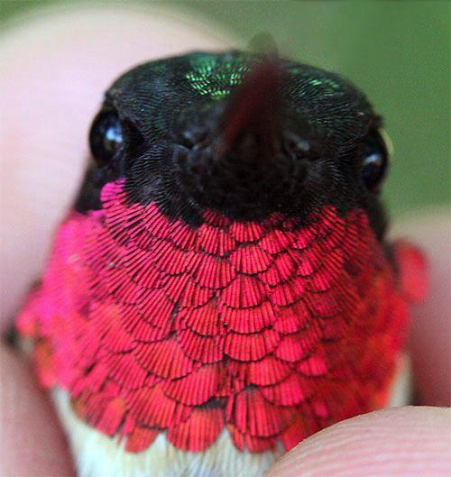 Instagram Photo By Vickibaybeee Via Inkcom Vicki Li - Photographer captures amazing close up photos of hummingbirds iridescent feathers