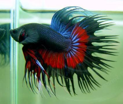 Male crowntail betta splendens betta splendens for Crowntail betta fish