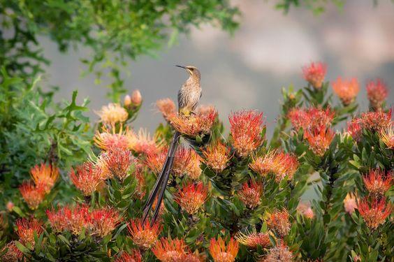 Cape Sugarbird: