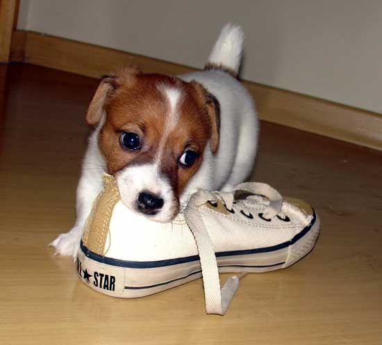 jack russell puppy chewing on shoe: