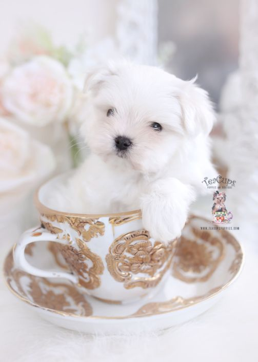 Maltese Puppy For Sale Teacup Puppies 092 In 2020 Teacup Puppies Teacup Puppies Maltese Teacup Puppies For Sale