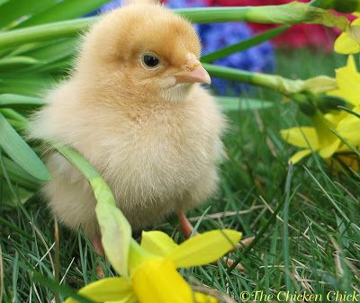 5 Problems Common in Baby Chicks with Solutions