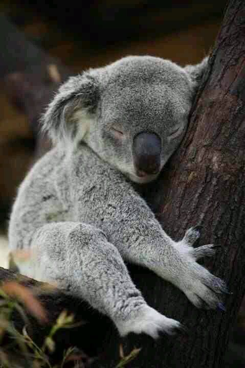 Amazing wildlife - Sleeping Koala Bear photo #koalas ...