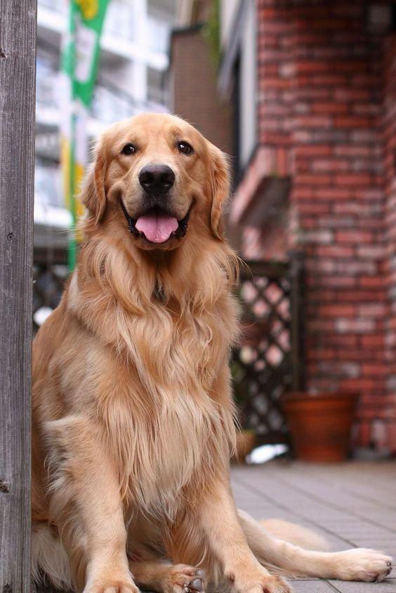 Sitting Pretty Goldenretrievers Dogs Golden Retriever