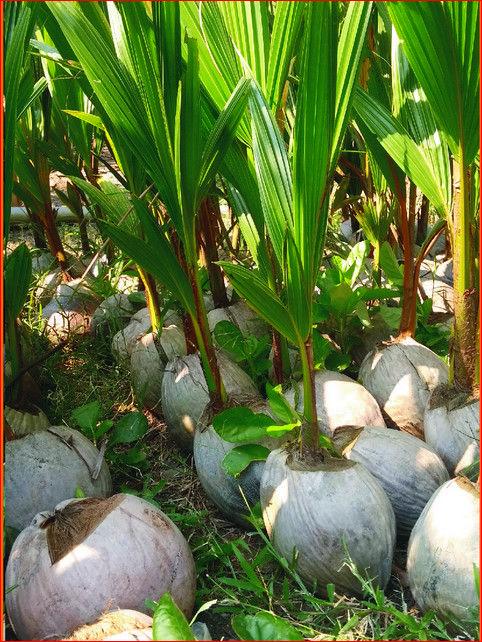 Kebun Kelapa Di Lampung