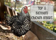 Everyone wants to own the Best Backyard Chickens! How do we determine which breeds to recommend based on egg laying, temperament and hardiness.