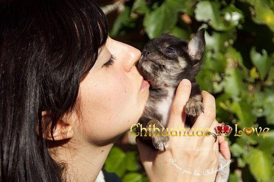 Chihuahuas Love - Conocimientos Raza Chihuahua. Saber Sobre Chihuahuas.