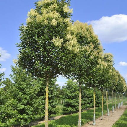 Evergreen fragrance and sweet on pinterest for Garden city trees