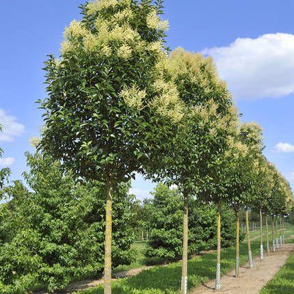 Evergreen fragrance and sweet on pinterest for Garden city trees