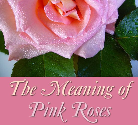 The Symbolism And Meaning Of Pink Roses Pink Rose Flower