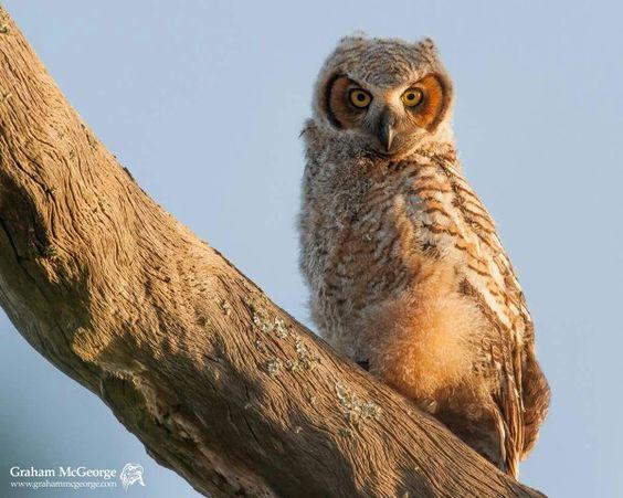 Great Horned Owl in golden light of Florida sunset